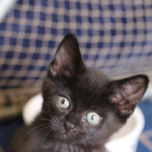 Jet (darker Black) - Domestic Short Hair Cat
