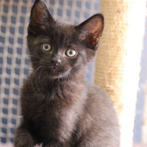 Jordan (lighter Black) - Domestic Short Hair Cat