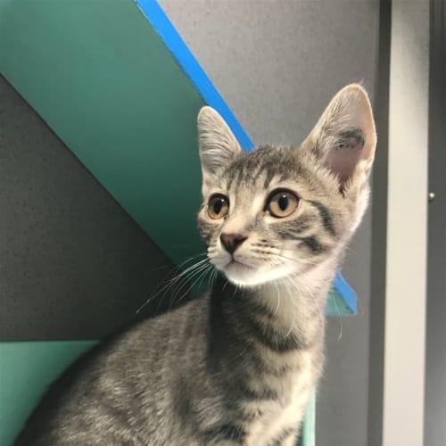 Dell - Domestic Short Hair Cat