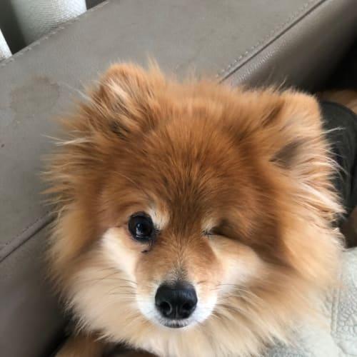 Pommy - Pomeranian Dog