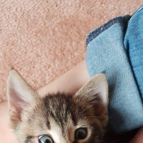 Pana - Domestic Short Hair Cat