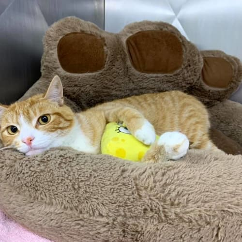 Dodge - Domestic Short Hair Cat