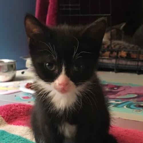 Pogba - Domestic Short Hair Cat