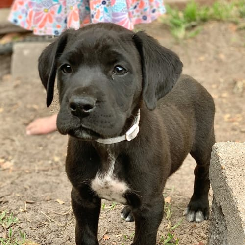 Barney 🦒 - Great Dane x Bull Arab Dog