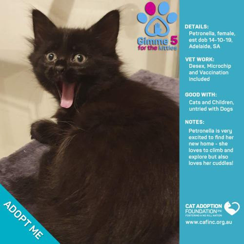 Petronella - Domestic Medium Hair Cat