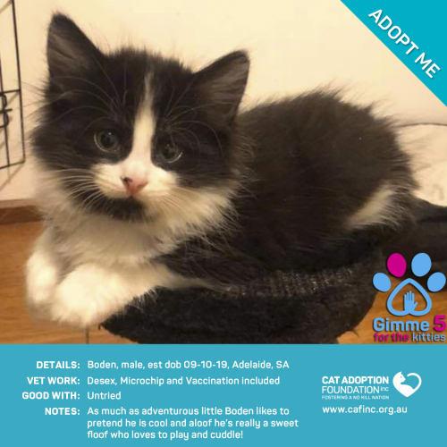 Boden - Domestic Short Hair Cat