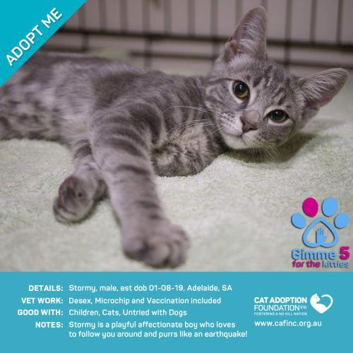 Stormey - Domestic Short Hair Cat