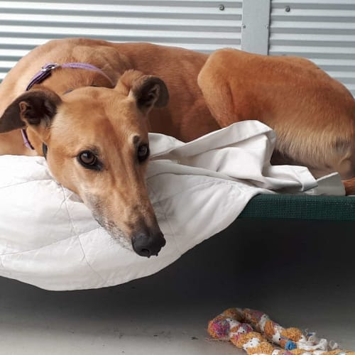 Horrie - Greyhound Dog