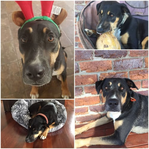 Buddy - Kelpie x Rottweiler Dog
