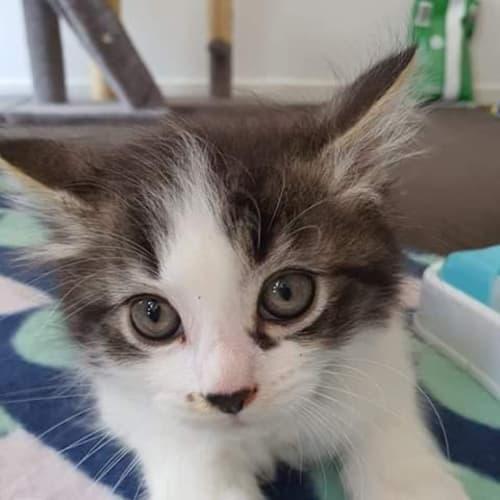 Bebop - Domestic Medium Hair Cat