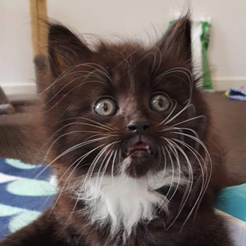 Bobby - Domestic Medium Hair Cat