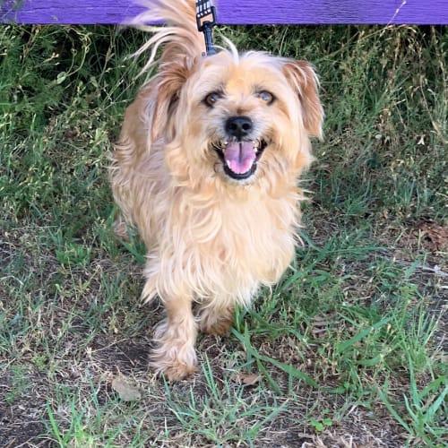 Bobby - Australian terrier Dog