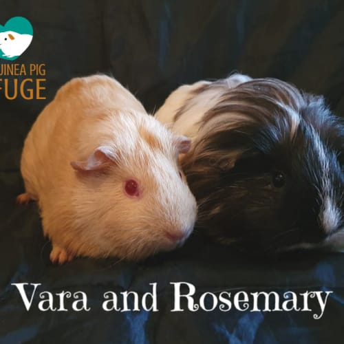 Vara and Rosemary (indoor home only) - Sheltie x Smooth Hair Guinea Pig
