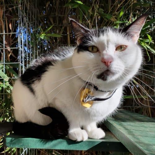 Kittie - Domestic Short Hair Cat