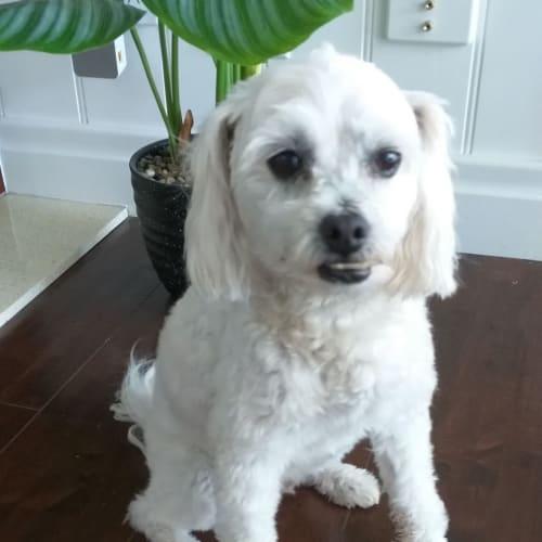 Ralph - Maltese Dog