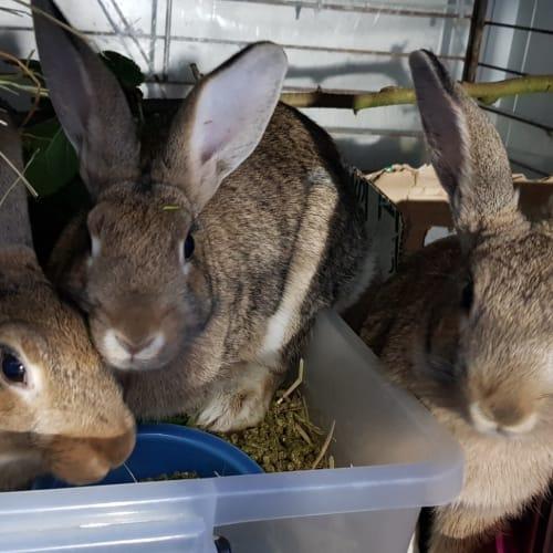 Lhaksa, Tymone, Vakoo - Flemish Giant Rabbit