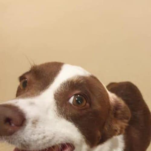 Kiara - Kelpie Dog