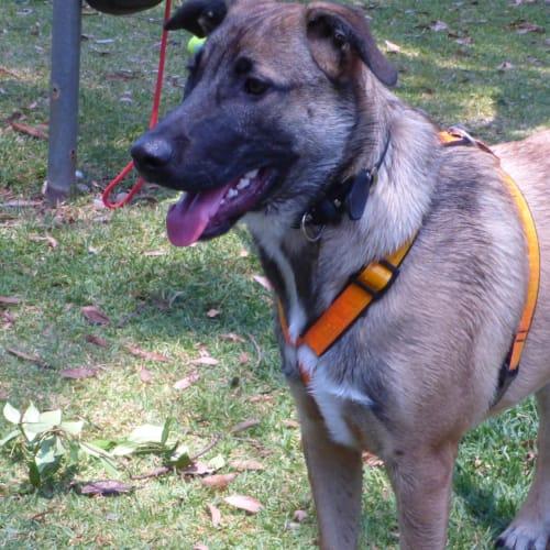 Lucas - German Shepherd Dog