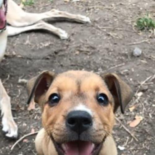Pip - Australian Cattle Dog