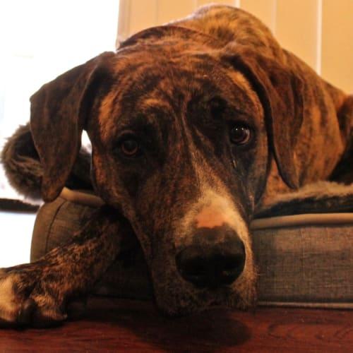 Tana - Great Dane Dog
