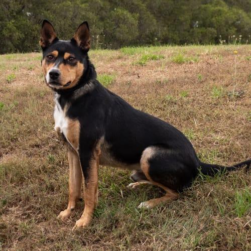 Benny - Kelpie Dog