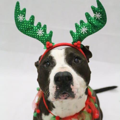 Kosta - American Staffordshire Terrier Dog