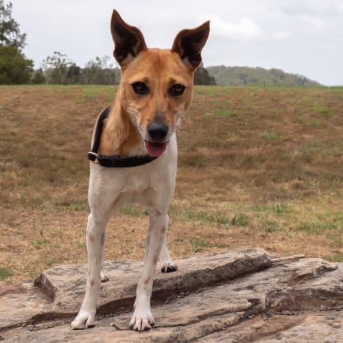 Jerry - Miniature Fox Terrier Dog