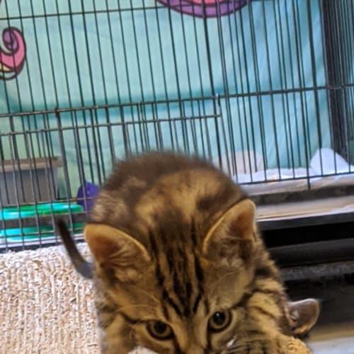 Freddy - Domestic Short Hair Cat