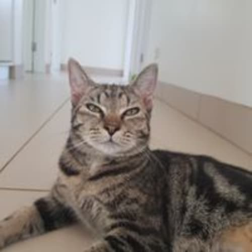 Jenka - Domestic Short Hair Cat