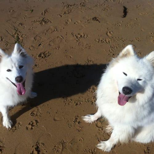 Millie - Samoyed Dog