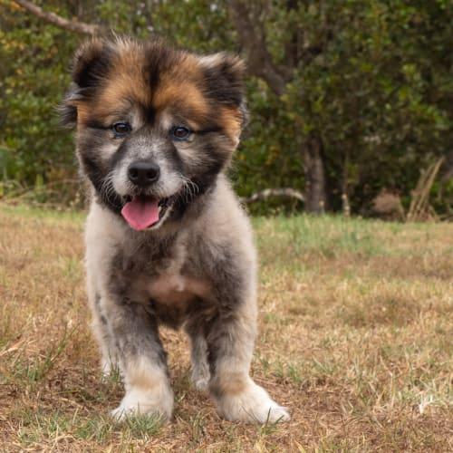 Poncho - Keeshond Dog