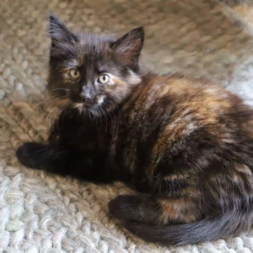 Patty 🥰 - Domestic Medium Hair Cat