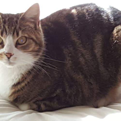Eadie - Domestic Short Hair Cat