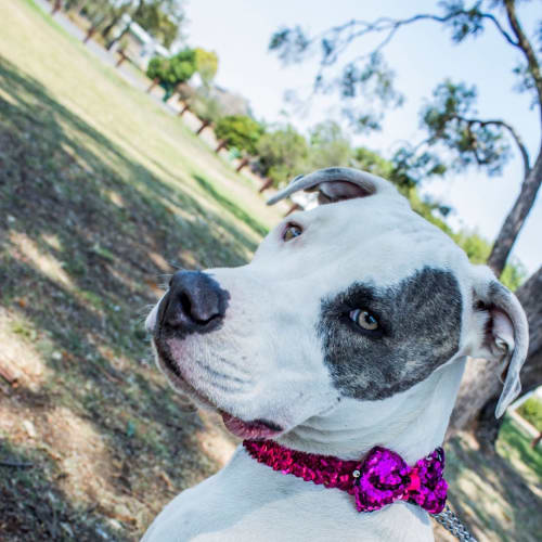 Molly - American Staffordshire Terrier Dog