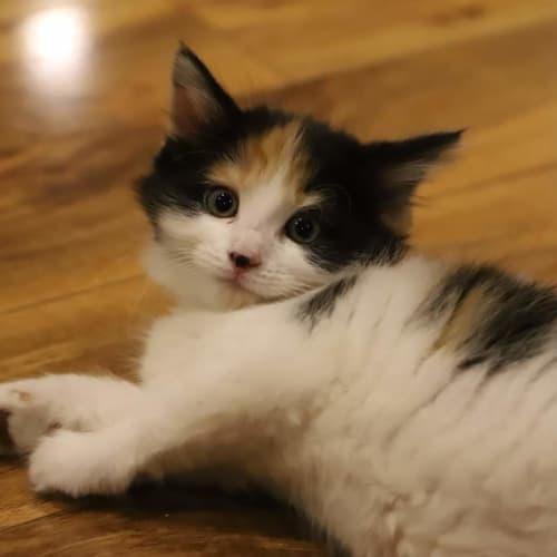 Paige 🌺 - Domestic Medium Hair Cat