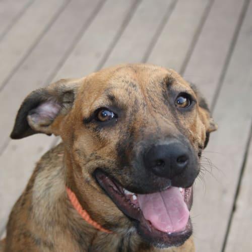 Alaska  - Mastiff Dog