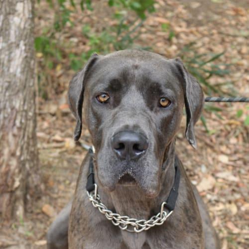Reggie - Great Dane Dog