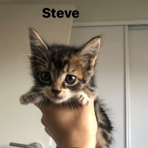 Steve - Domestic Short Hair Cat