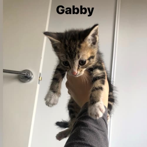 Gabby the Tabby - Domestic Short Hair Cat