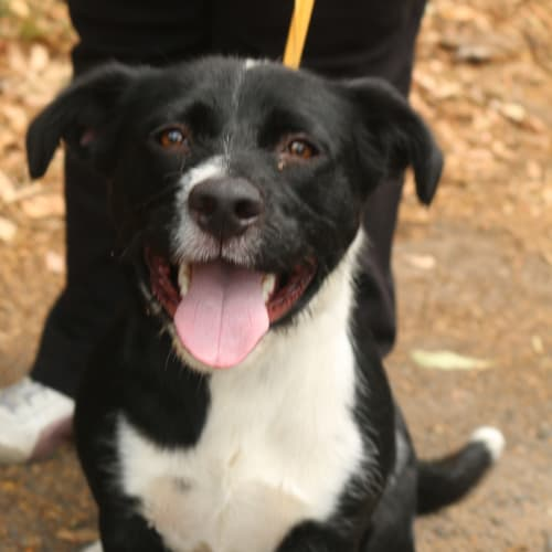 Max - Corgi x Border Collie Dog