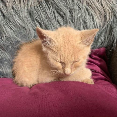 Jingle - Domestic Short Hair Cat