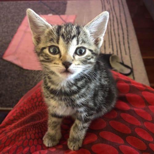 Karissa - Domestic Short Hair Cat