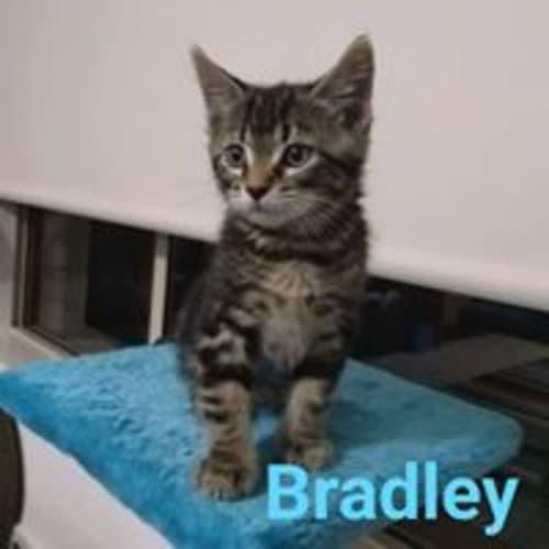 Bradley - Domestic Short Hair Cat