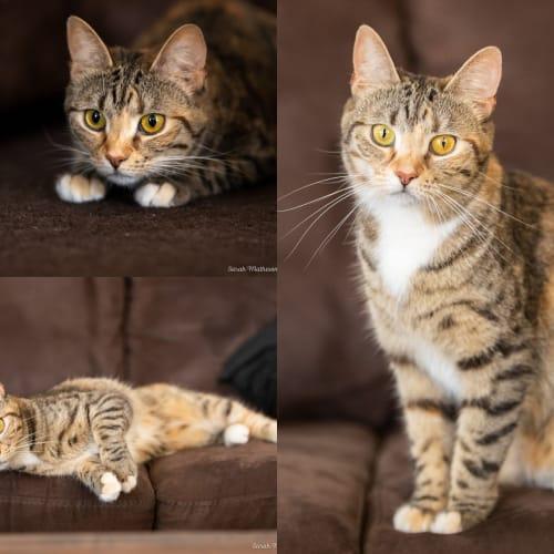 2029 - Katara - Domestic Short Hair Cat