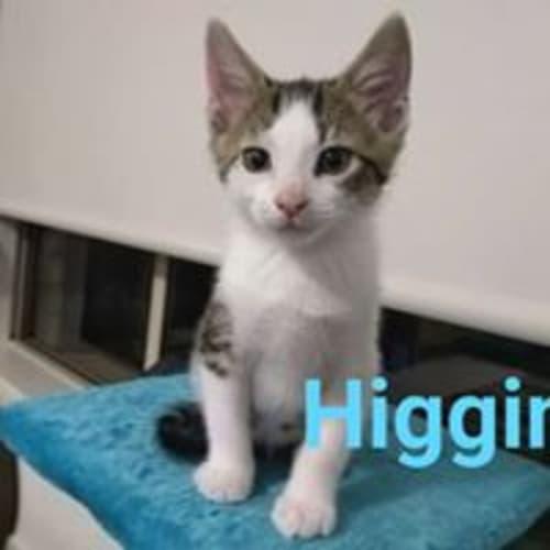 Higgins - Domestic Short Hair Cat