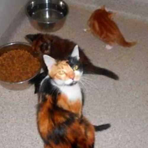 Mum and 3 kittens Foster carer needed - Domestic Short Hair x Domestic Medium Hair Cat