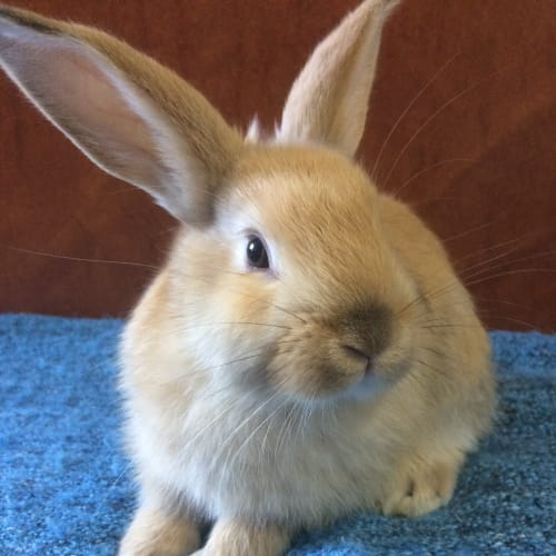 Parsley - Dwarf Rabbit