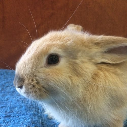 Popcorn - Dwarf Rabbit