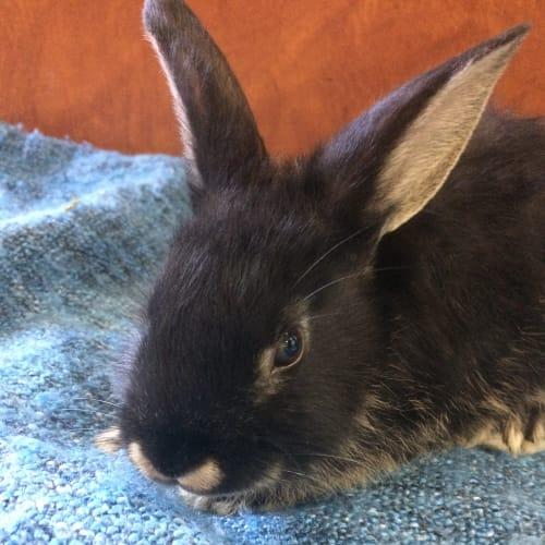 Pepper - Dwarf Rabbit
