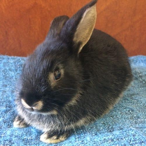Piper - Dwarf Rabbit